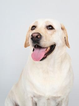 Retrato de un perro labrador retriever