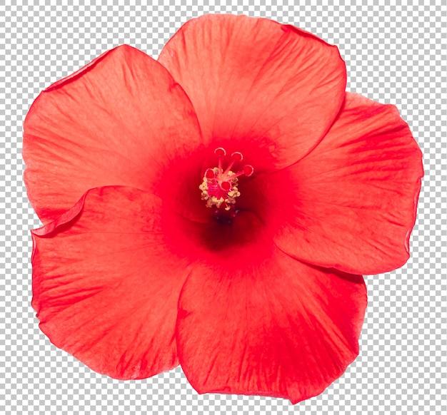 Rode hibiscus bloem transparantie achtergrond. tropisch bloemenvoorwerp.