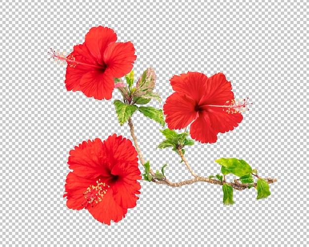 Rode hibiscus bloemen geïsoleerd