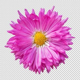 Roze chrysant bloem geïsoleerde rendering