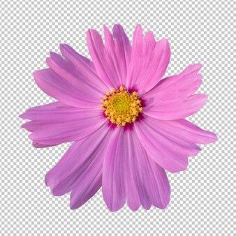 Roze kosmos bloem geïsoleerde weergave