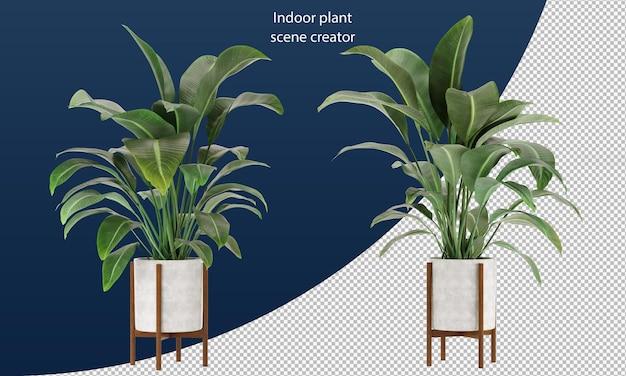 Strelitzia nicolai in een pot kamerplant in een pot decoratieplant in een pot