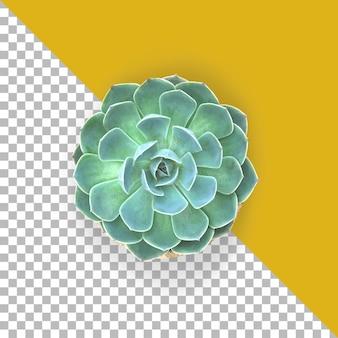 Top-up weergave groene succulent geïsoleerd