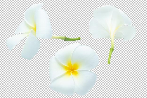 Trasparenza di fiori di plumeria bianco-gialla. floreale
