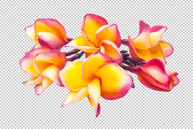 Trasparenza di fiori di plumeria bouquet giallo-rosa. floreale