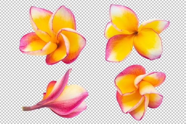 Trasparenza di fiori di plumeria giallo-rosa. floreale