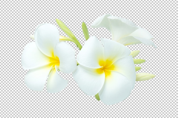 Wit-gele boeketplumeria bloeit transparantie. bloemen
