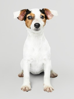 Adorable portrait de chiot jack russell retriever