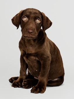 Adorable portrait de labrador retriever au chocolat