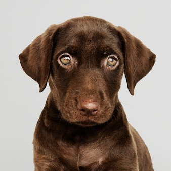 Adorable portrait de labrador retriever au chocolat