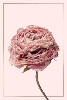 Cadre doré avec une fleur de renoncule rose séchée