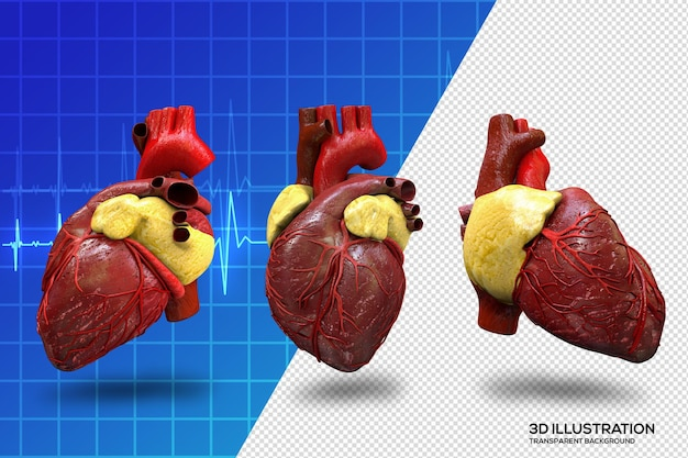 Coeur humain avec différents angles fichier psd