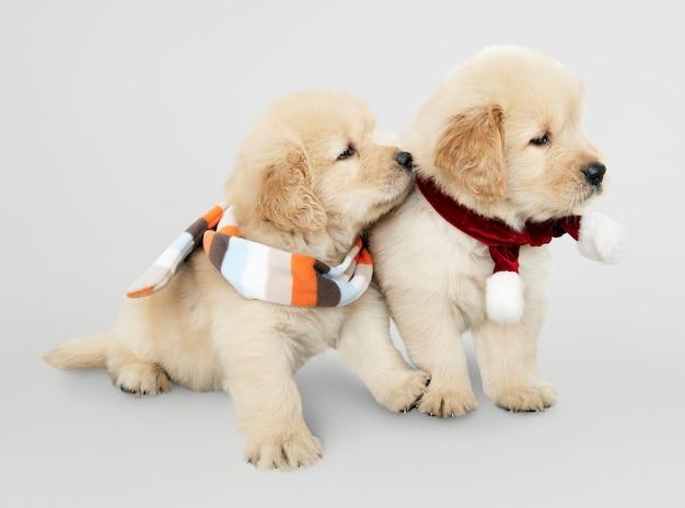 Deux chiots golden retriever portant des écharpes