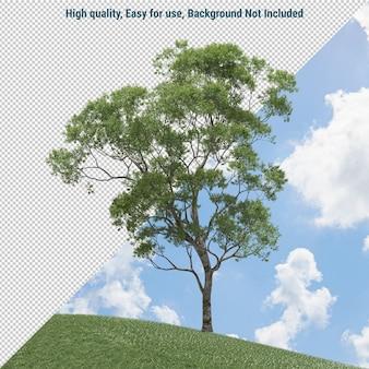 Eucalyptus isolé