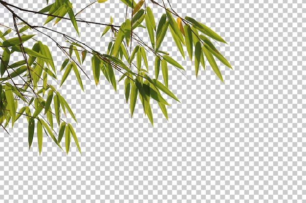 Feuilles de bambou et premier plan de branche isolé