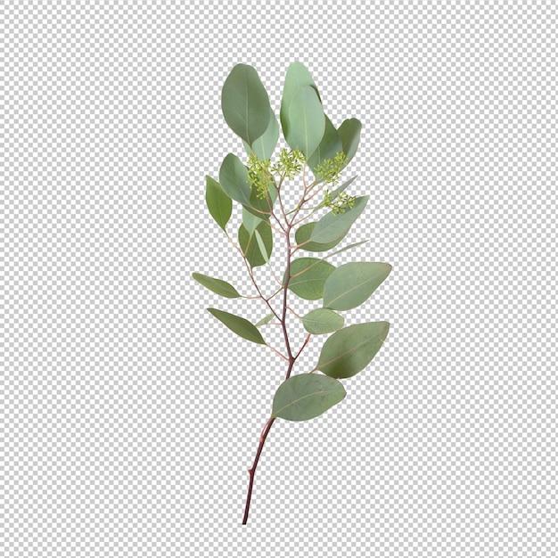 Feuilles d'eucalypthus isolés