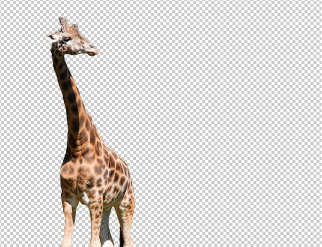 Girafe réaliste