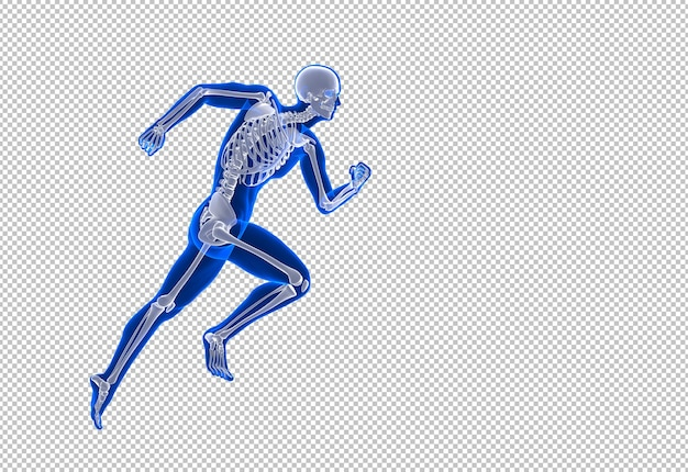 Illustration anatomique du squelette masculin en cours d'exécution