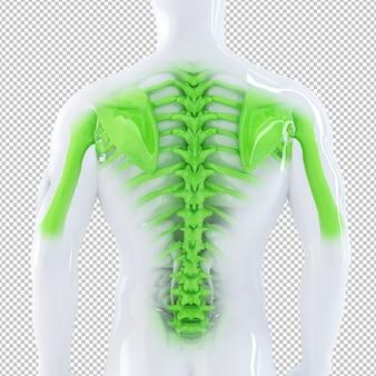 Illustration anatomique d'une épine dorsale masculine