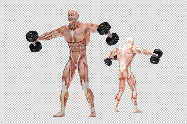 Illustration anatomique de l'exercice des épaules