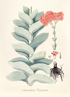 Illustration antique de larochca falcata