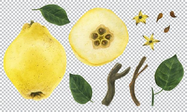 Illustration aquarelle botanique. coing jaune frais. fruits, feuilles, graines et branche