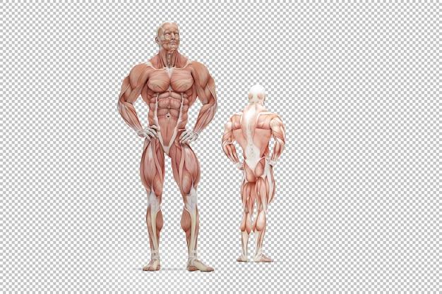 Illustration du rendu de l'anatomie du muscle humain