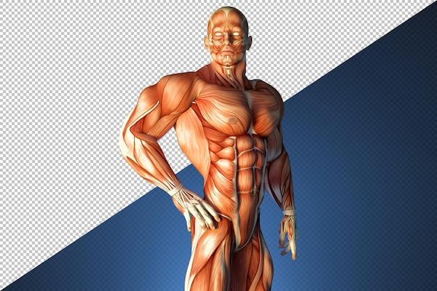 Illustration du système musculaire humain