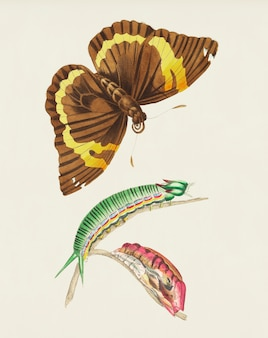 Illustration de papillon de cassia