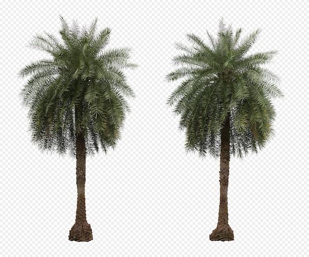 Phoenix dactylifera palmiers ensemble d'arbres isolé