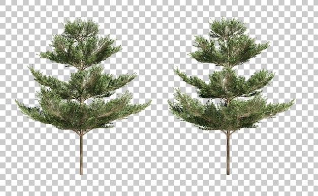 Rendu 3d d'arbres terminalia ivorensis