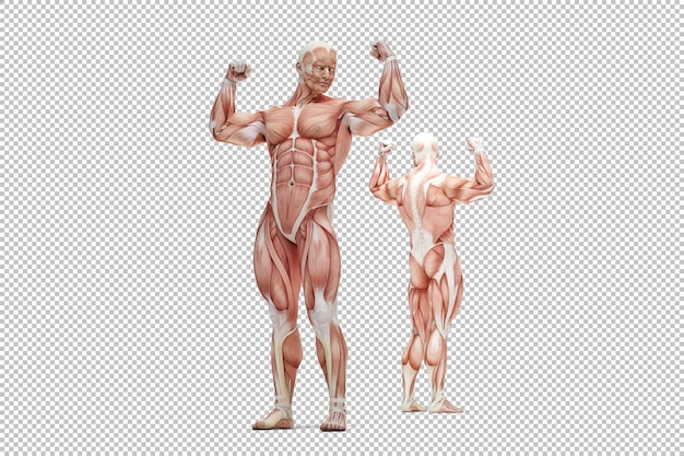 Rendu de l'anatomie du muscle mâle humain