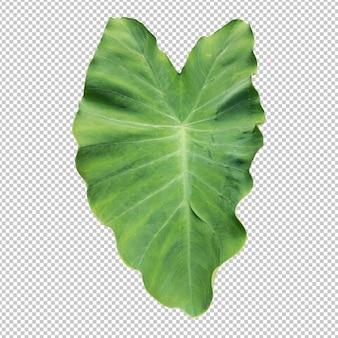 Rendu isolé des feuilles de colocasia verte