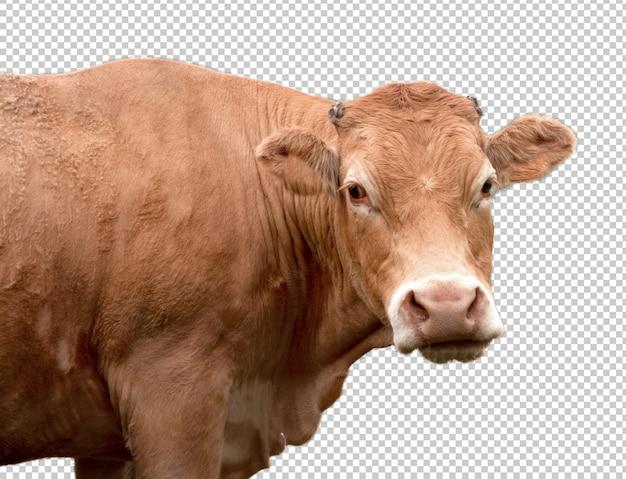 Vache réaliste
