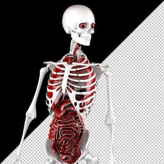 Anatomia masculina humana. esqueleto e órgãos internos