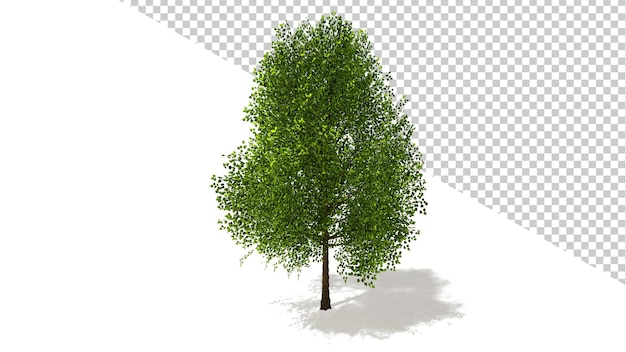 Árvore de álamo preto com árvore isolada renderização em 3d