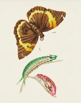 Cassia butterfly ilustração