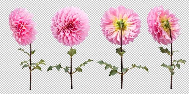Conjunto de flores de dália rosa florescendo em fundo branco isolado. traçado de recorte de objeto floral.
