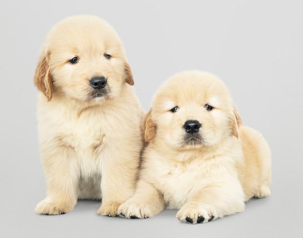 Dois, adorável, retriever dourado, filhotes cachorro