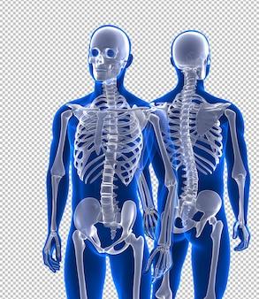 Esqueleto humano próximo vista frontal e traseira