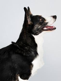 Feliz, cardigan, galês, corgi, cão