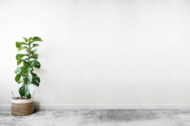Fiddle leaf fig em um quarto