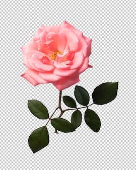 Flor rosa rosa transparente
