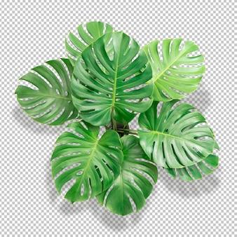 Folha de bush green monstera isolada