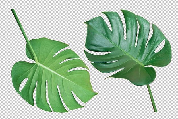 Folha verde monstera isolado fundo de transparência