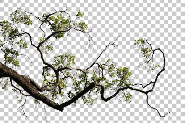 Folhas da árvore tropical e primeiro plano do ramo