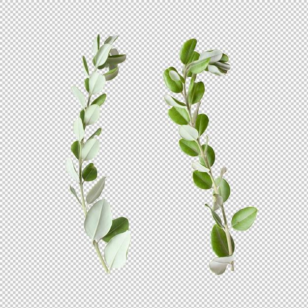 Folhas de eucalipto isoladas