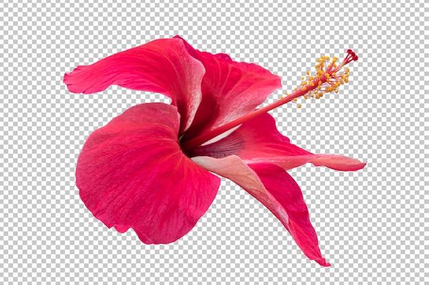 Fundo de transparência de flor de hibisco vermelho. objeto floral tropical.