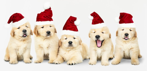 Grupo de cinco golden retriever usando chapéus de papai noel