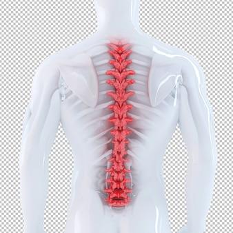 Ilustração 3d da coluna vertebral humana